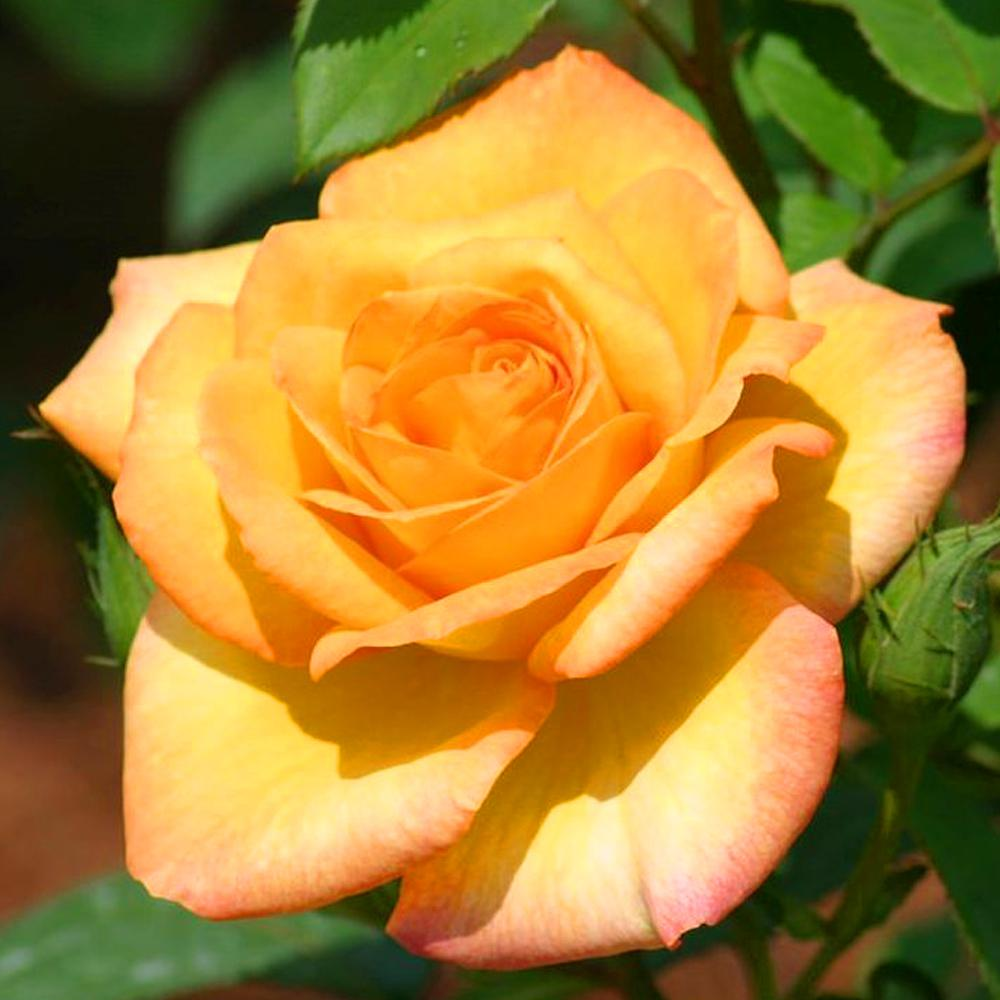 Mea Nursery All-Time Favorites GOLD MEDAL Grandiflora Rose with Yellow Flowers was $25.98 now $10.49 (60.0% off)