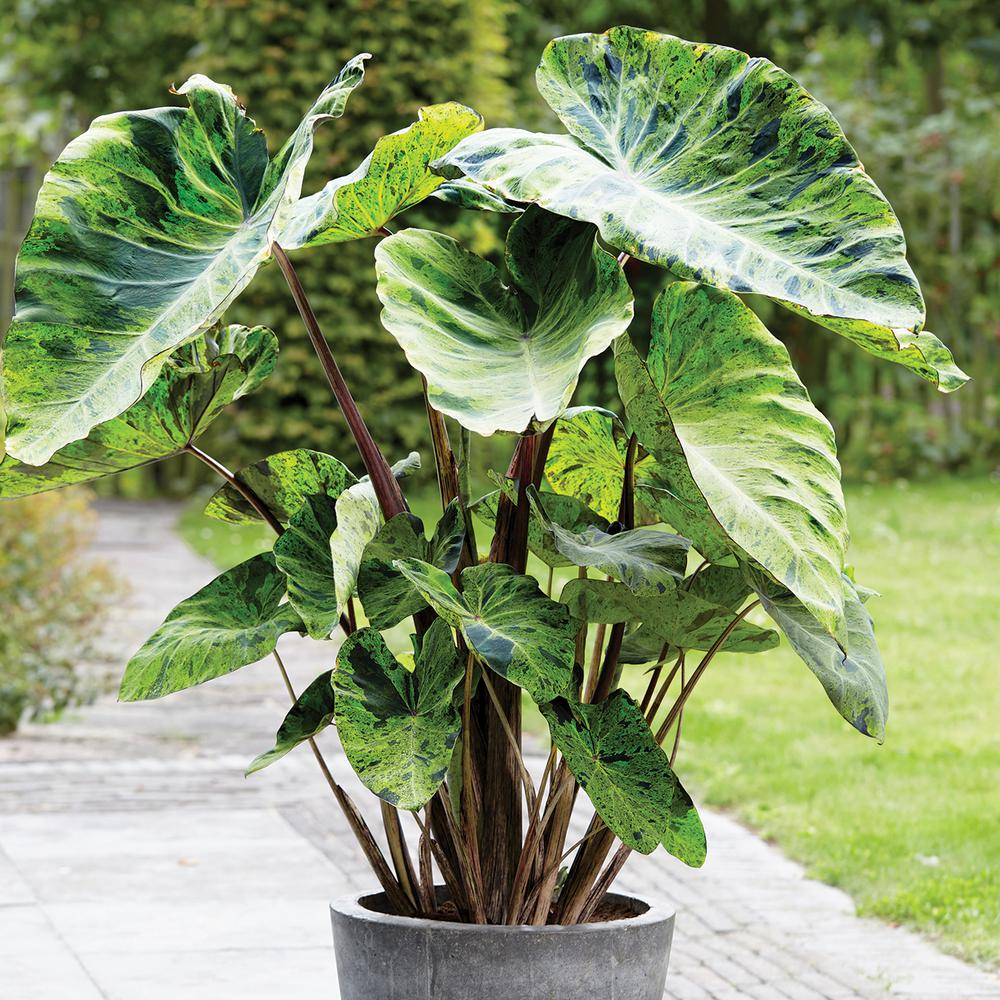 Van Zyverden Elephant Ear Mojito Bulbs 3 Pack 831193 The Home