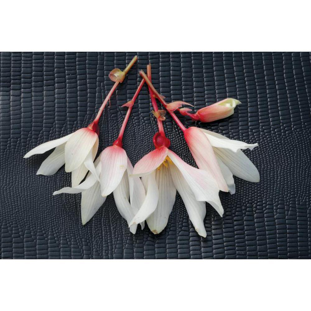4-Pack, 4.25 in. Grande Bossa Nova Pure White (Begonia) Live Plant White Flowers