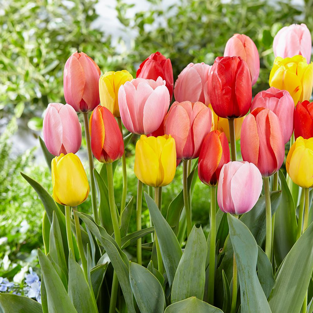 Tulip Darwin Hybrid Mix Bulbs (100-Count/Pack)