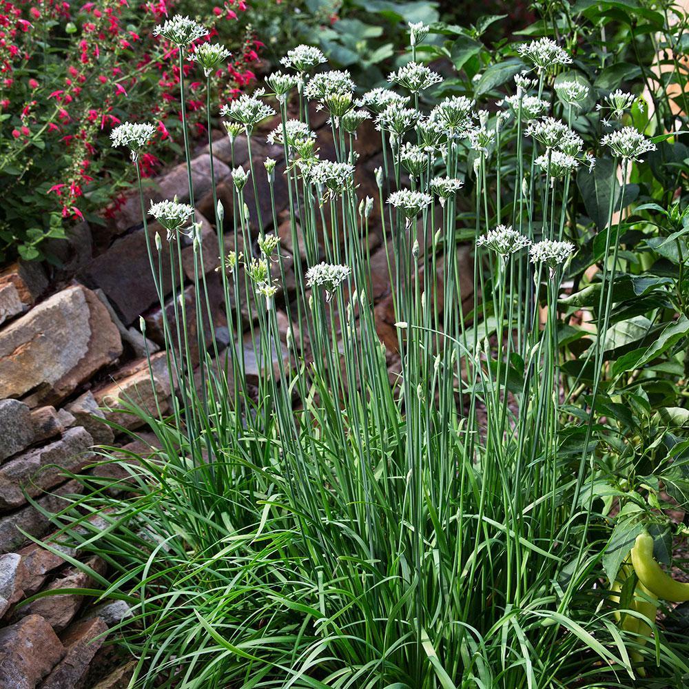 bonnie plants chives garlic  oz   home depot