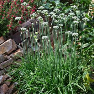 Chives-Garlic 4.5in 19.3oz