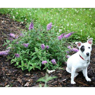 Lo and Behold 'Lilac Chip' Butterfly Bush (Buddleia) Live Shrub, Lavender-Pink Flowers, 4.5 in. Qt.