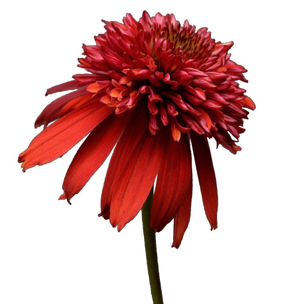 2.5 Qt. Double Scoop Raspberry Echinacea With Dark Pinkish-Red Blooms, Live