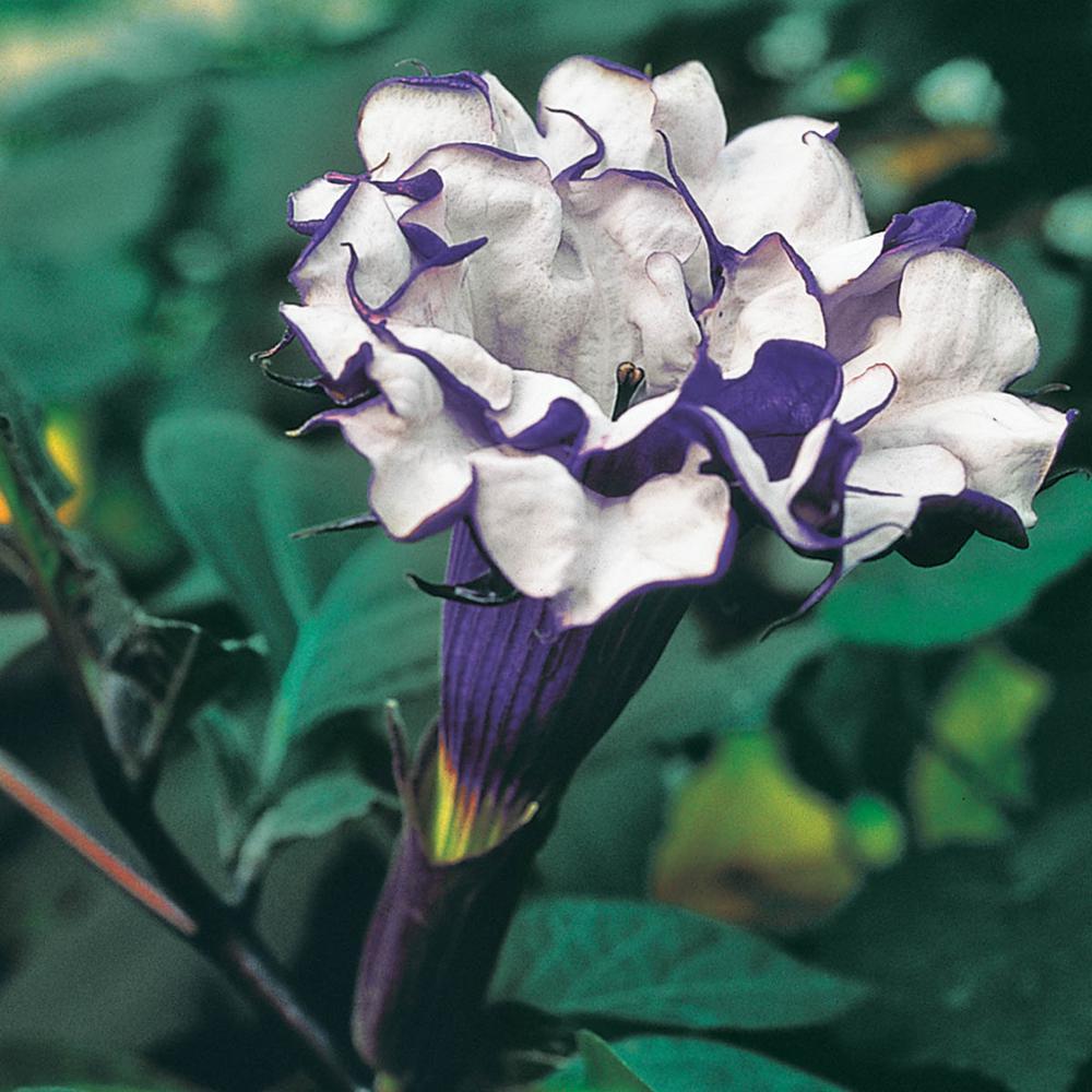 Spring Hill Nurseries 3 In Pot Purple Petticoats Angel Trumpet