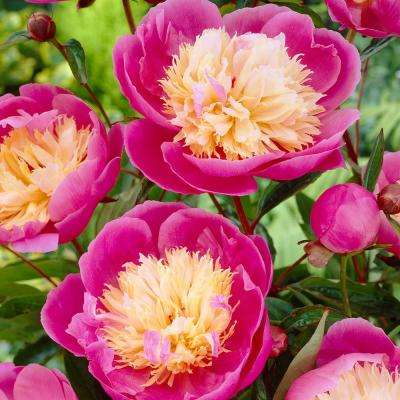Peonies Bowl Of Beauty- Roots (3-Set)
