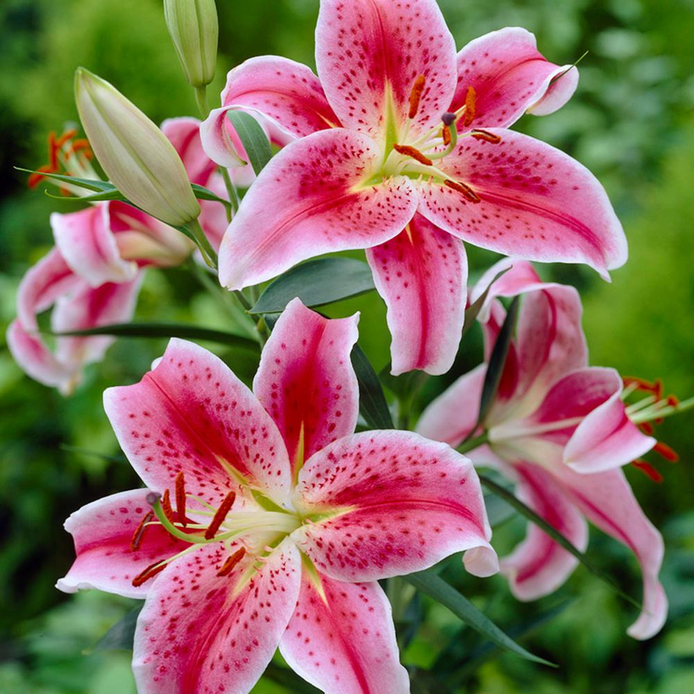 van zyverden lilies oriental stargazer bulbs pack of 7 11351 the