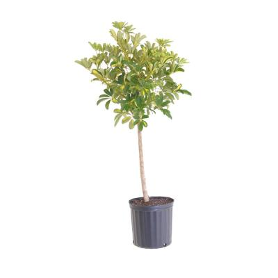 Schefflera Gold Capella Standard Live Outdoor Plant Shipped in 9.25 in. Grower Pot 38 in. - 42 in. Tall