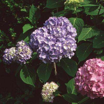 8 in. Endless Summer Hydrangea Shrub with Blue Flowers