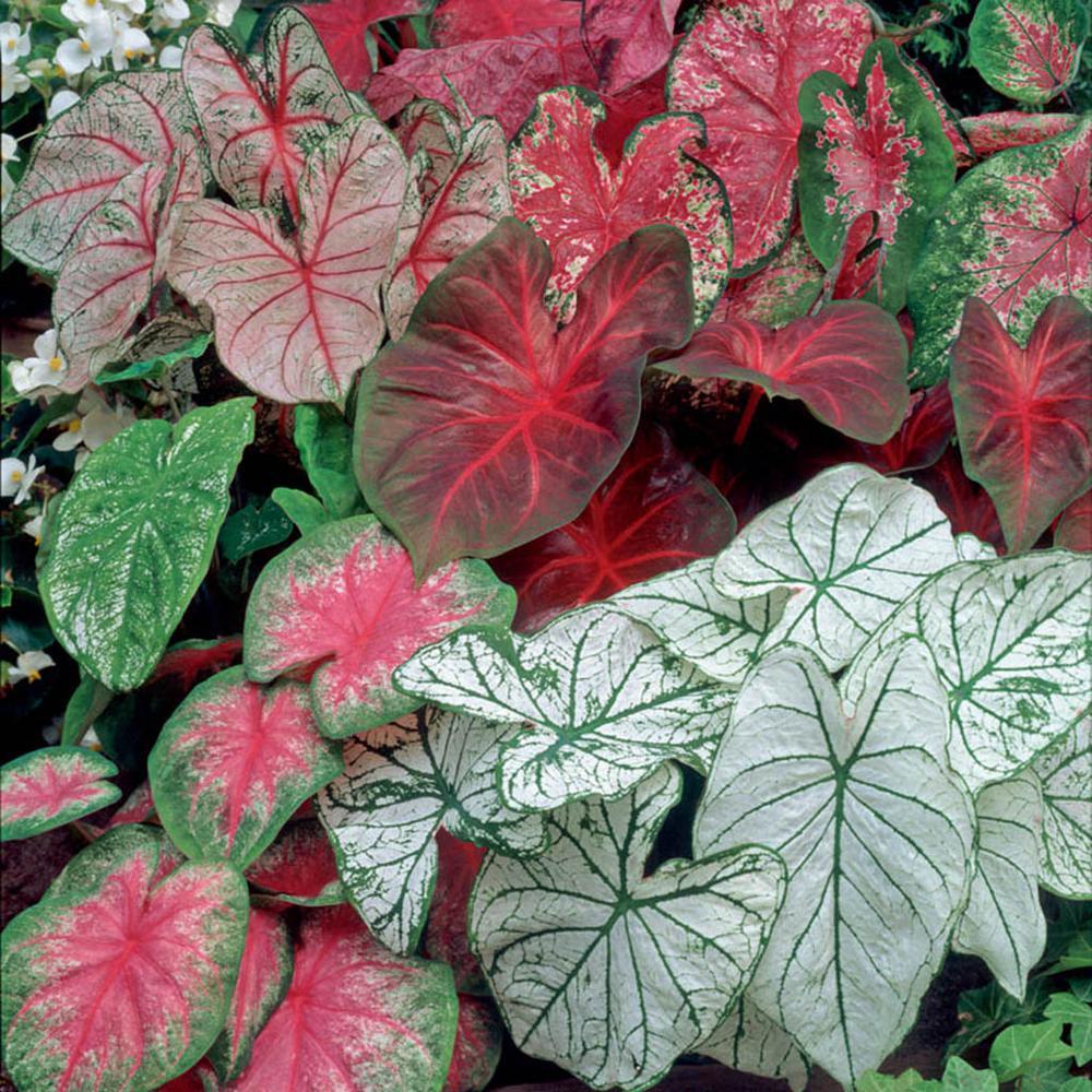 Caladiums Fancy Leaf Mixed Bulbs (Set of 12)