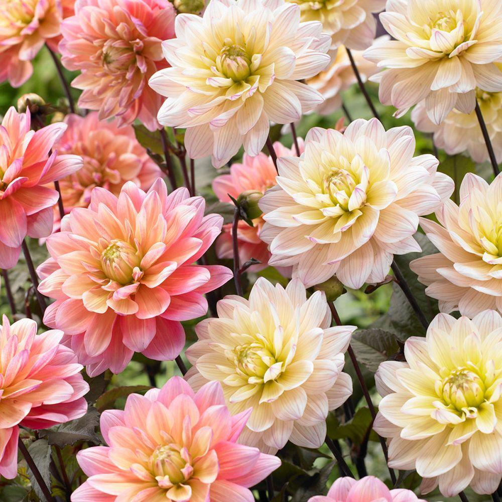 Dahlia Perennial Flower Bulbs Garden Plants Flowers The