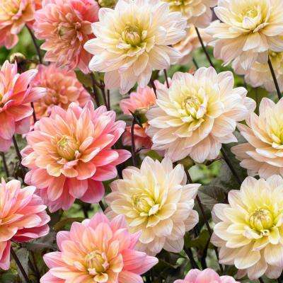 Dahlia Candy Bulbs Mixture (6-Pack)