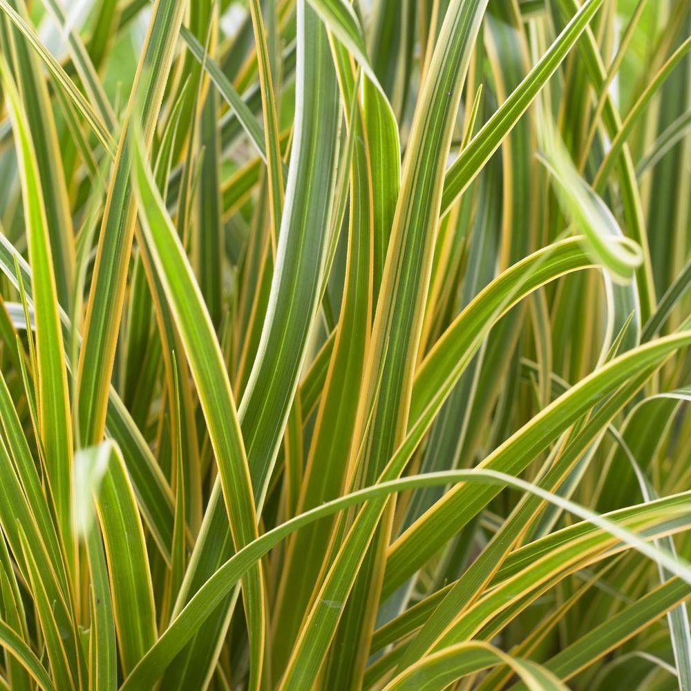 Southern Living Plant Collection 2 5 Qt Evercolor Everglow Carex
