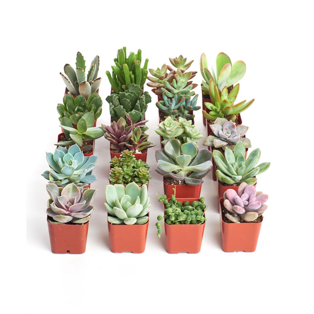 2 In Unique Succulent Collection Of 20 U20 The Home Depot