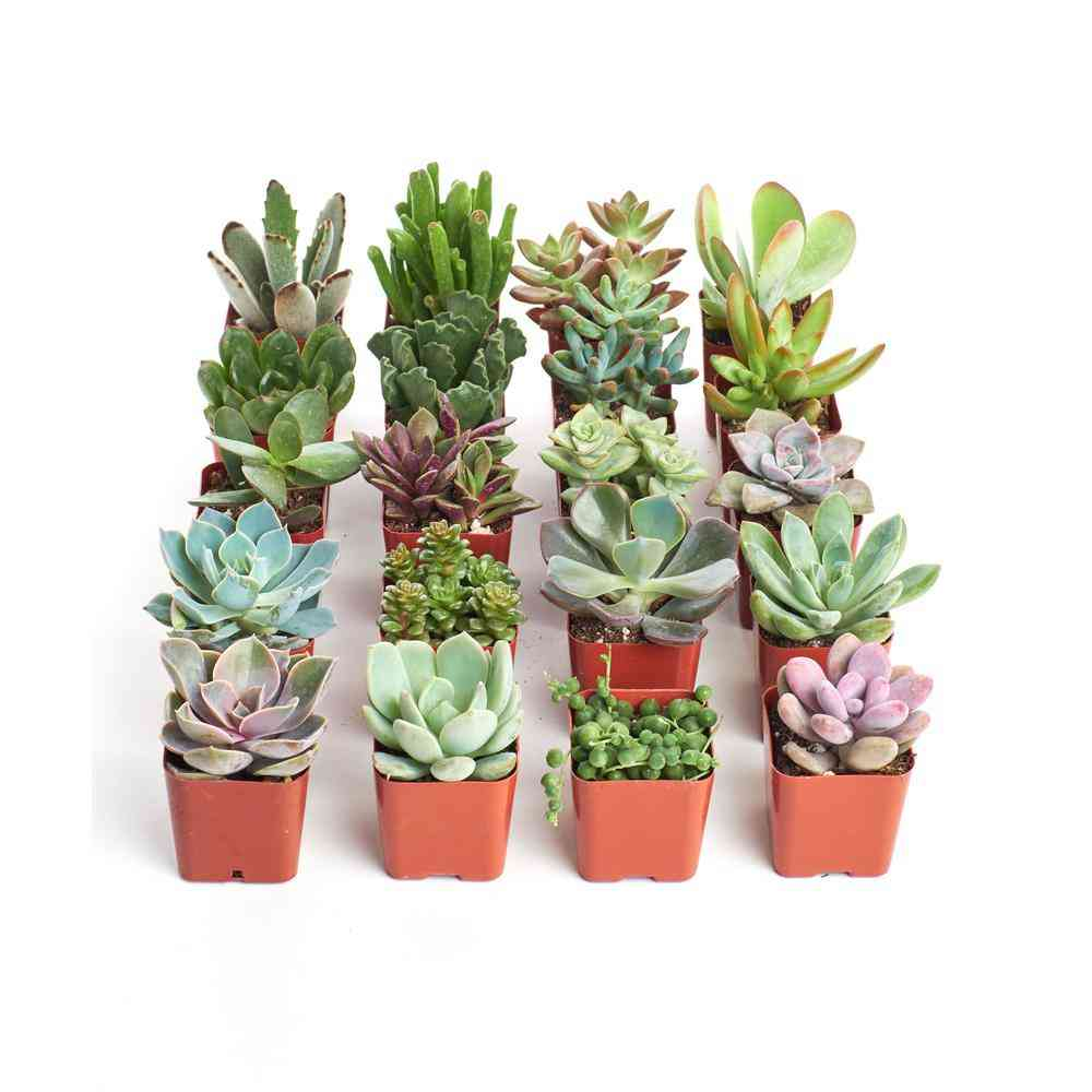 2 in. Unique Succulent (Collection of 20) - Sale: $32.98 USD (21% off)