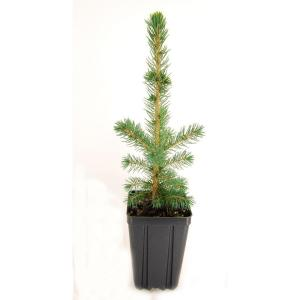 Evergreen Nursery Colorado Spruce Potted Tree Sprcolqts The Home Depot