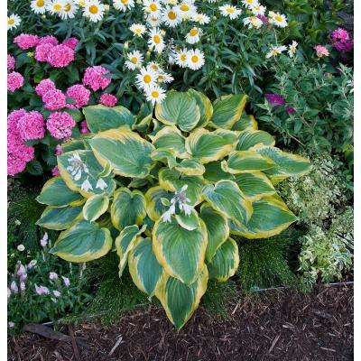 Shadowland Seducer (Hosta) Live Plant, Green And Gold Foliage, 3 Gal.