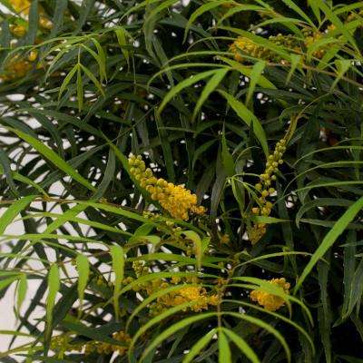 2 Gal. Soft Caress Mahonia, Live Evergreen Shrub, Bright Yellow Flowers
