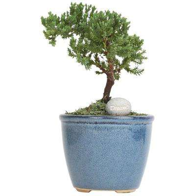 Petite Bonsai Juniper in 4.75 in. Ceramic