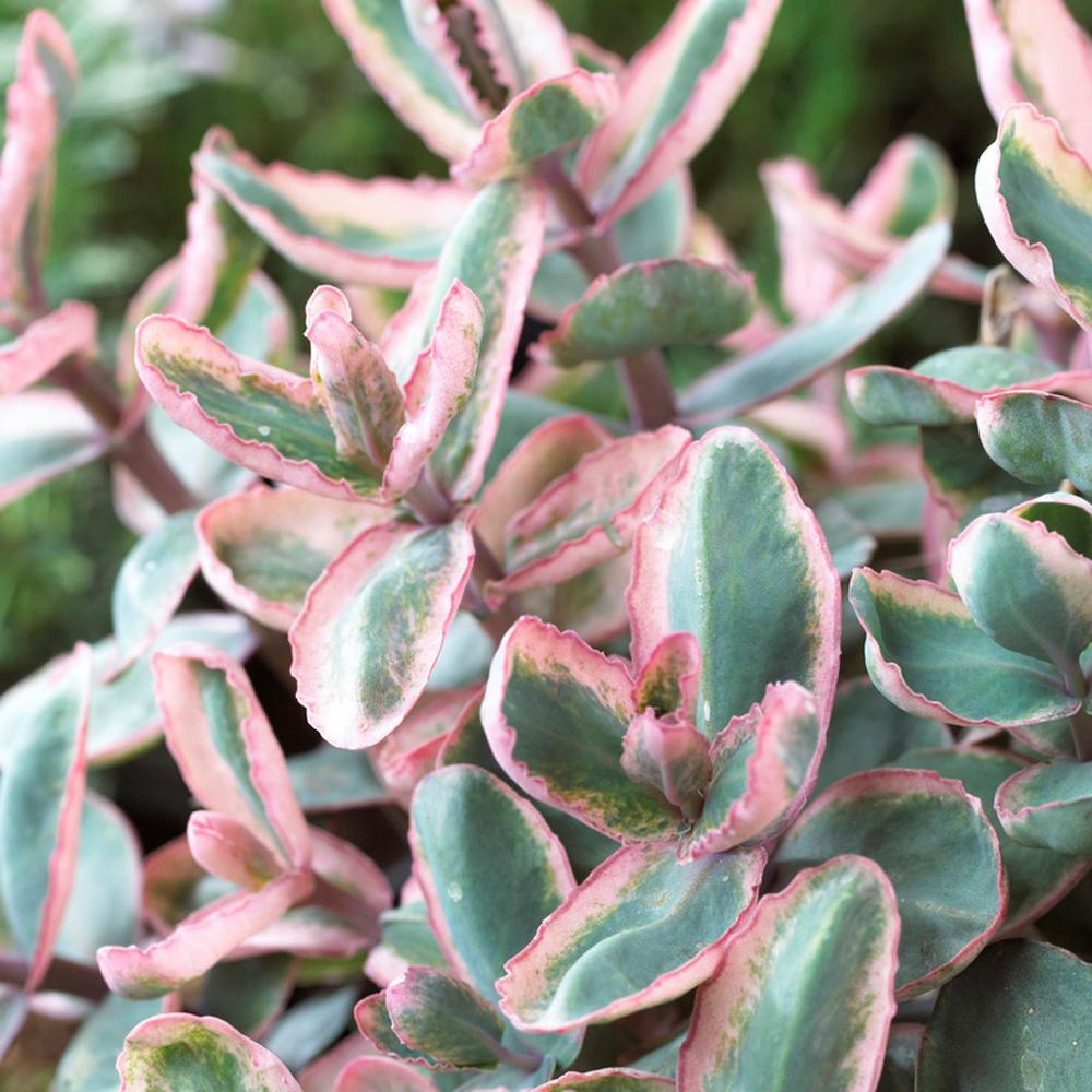 Garden Succulent Sedum Winky Roots (Set of 3)