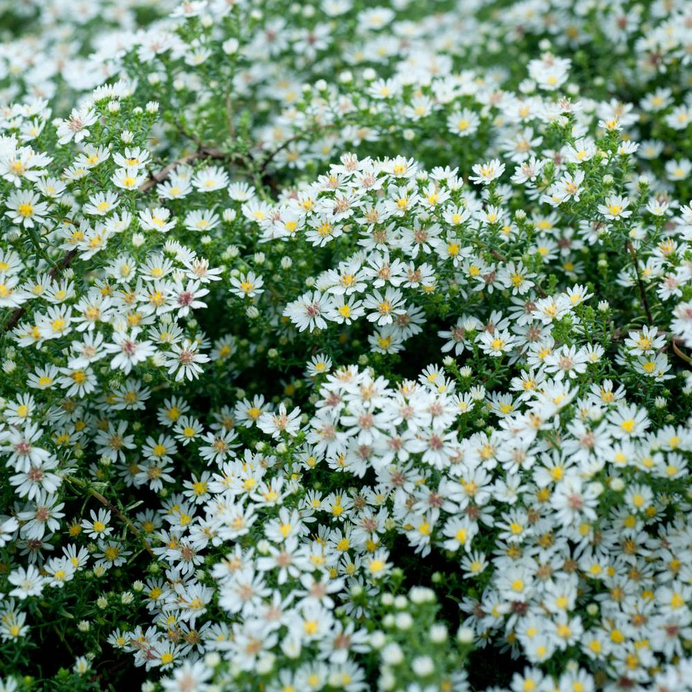 Pot Bridal Veil Aster Live Deciduous Plant White Flowering Perennial 1 Pack