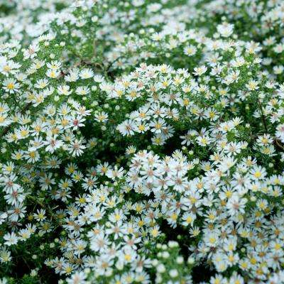3 in. Pot Bridal Veil Aster Live Deciduous Plant White Flowering Perennial (1-Pack)
