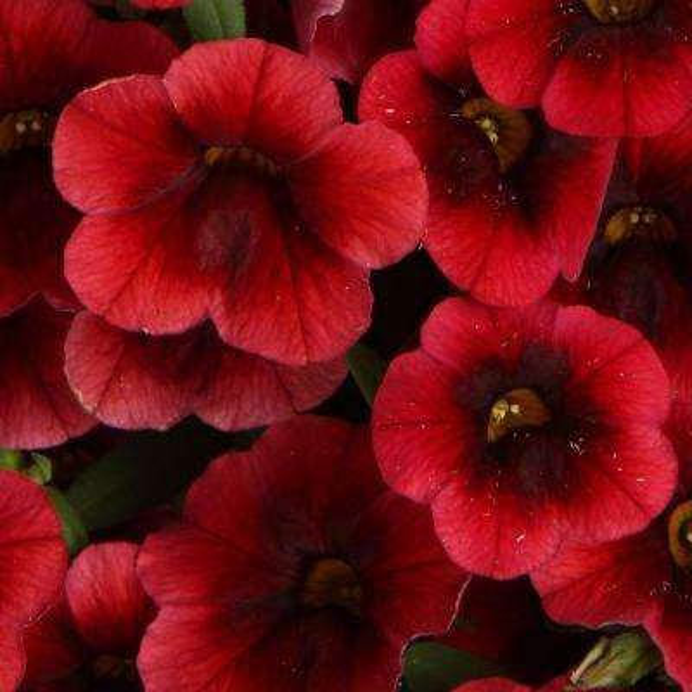 Superbells Pomegranate Punch (Calibrachoa) Live Plant, Deep Red Flowers, 4.25in. Grande