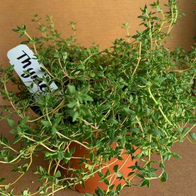 5.5 in. English Thyme Culinary Herb Plant