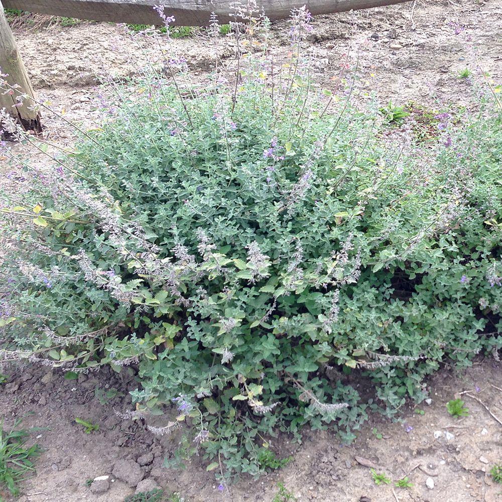 1 Gal. Junior Walker Catmint Plant