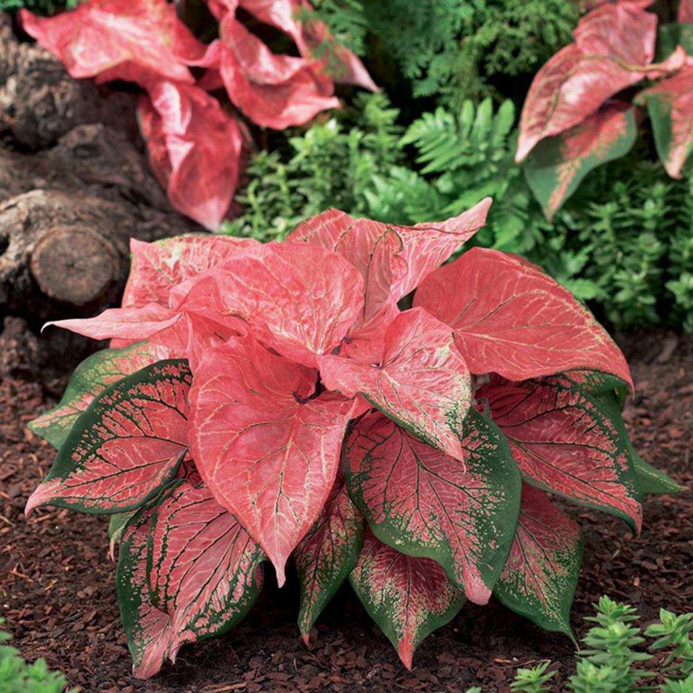 Caladiums Strap Leaf Pink Symphony Bulbs (Set of 6)