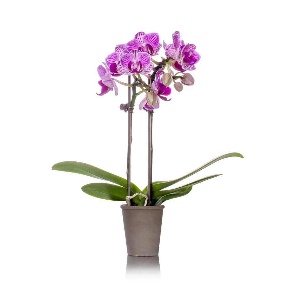 Jai Rustic Orchid