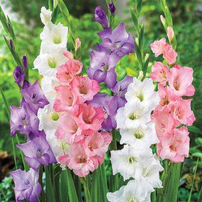 Pastel Gladiolus Bulb Mixture Multi-Colored Flowers (10-Pack)