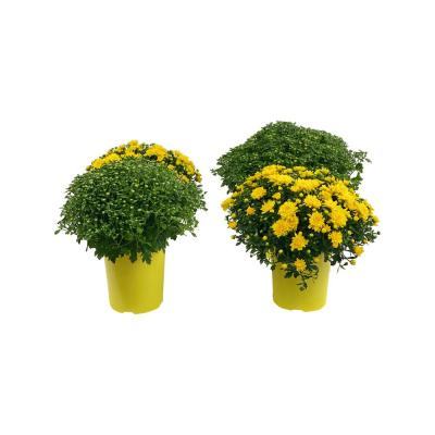 2.5 Qt. Mum Chrysanthemum Plant Yellow Flowers in 6.33 In. Grower's Pot (4-Plants)