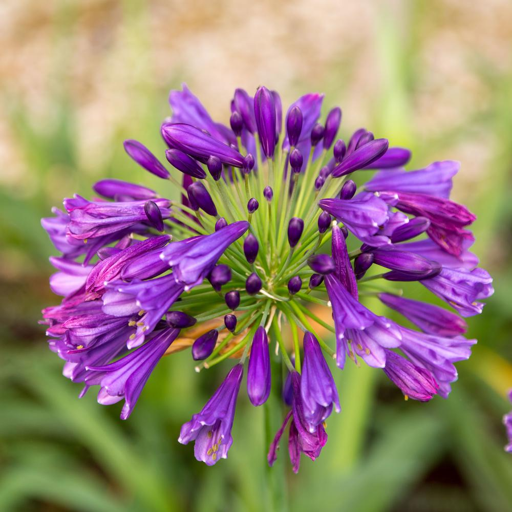 Southern Living Plant Collection 2 5 Qt Ever Amethyst Agapanthus