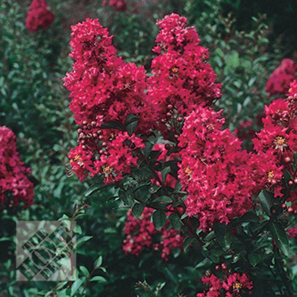 null Crape Myrtle, Dallas Red