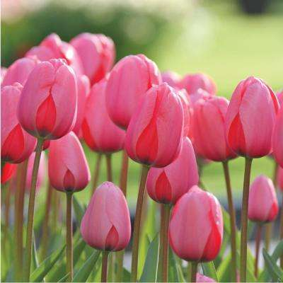 Tulip Pink Impression Bulbs (100-Pack)