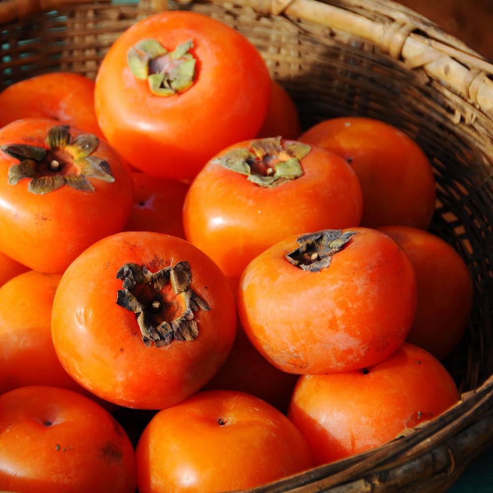 American Persimmon (Diospyros) Live Fruiting Bareroot Trees (2-Pack)