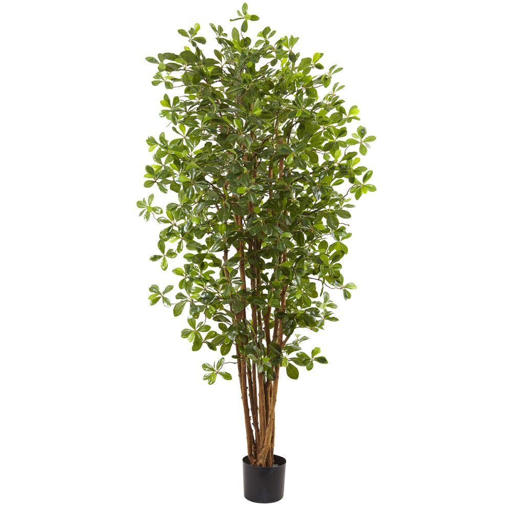 6 ft. Black Olive Silk Tree