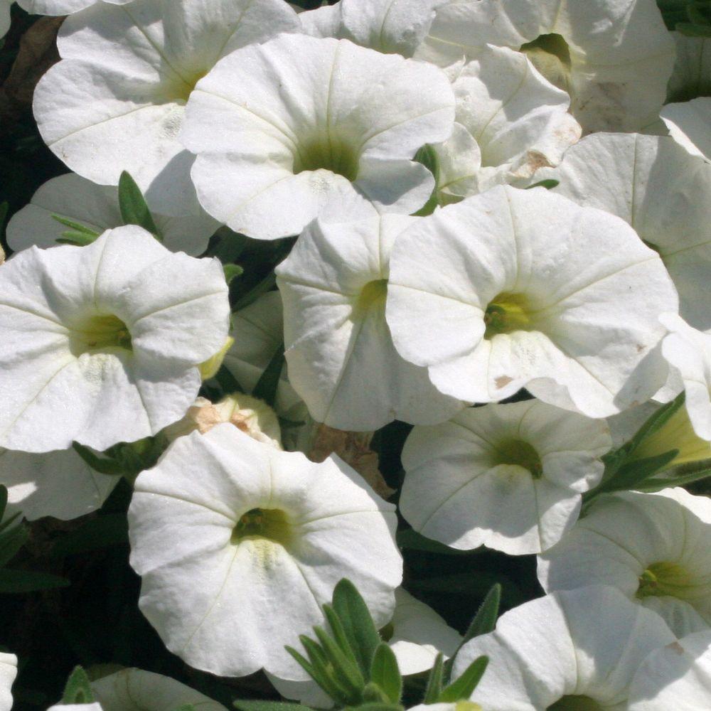 Superbells White(Calibrachoa) Live Plant, White Flowers, 4.25 in. Grande