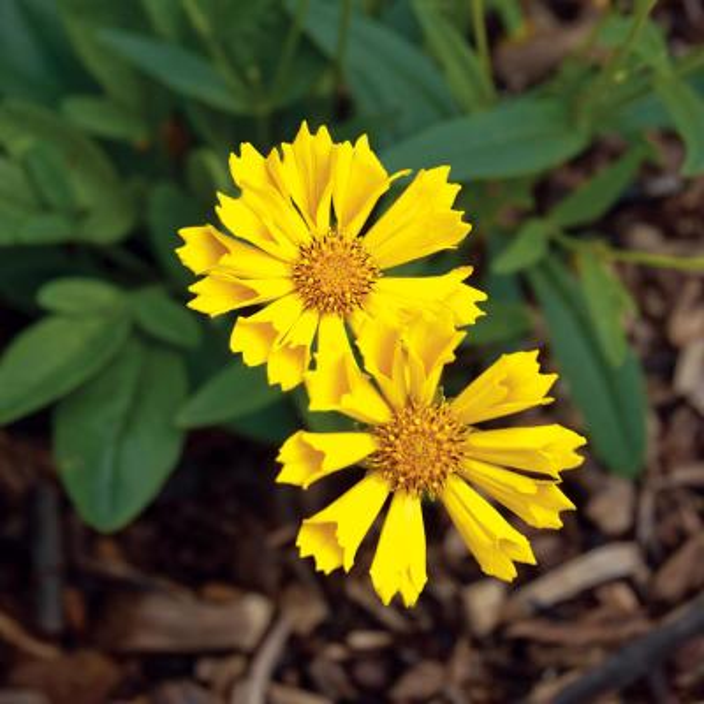 2.5 Qt. Leading Lady Sophia Yellow Tickseed Plant