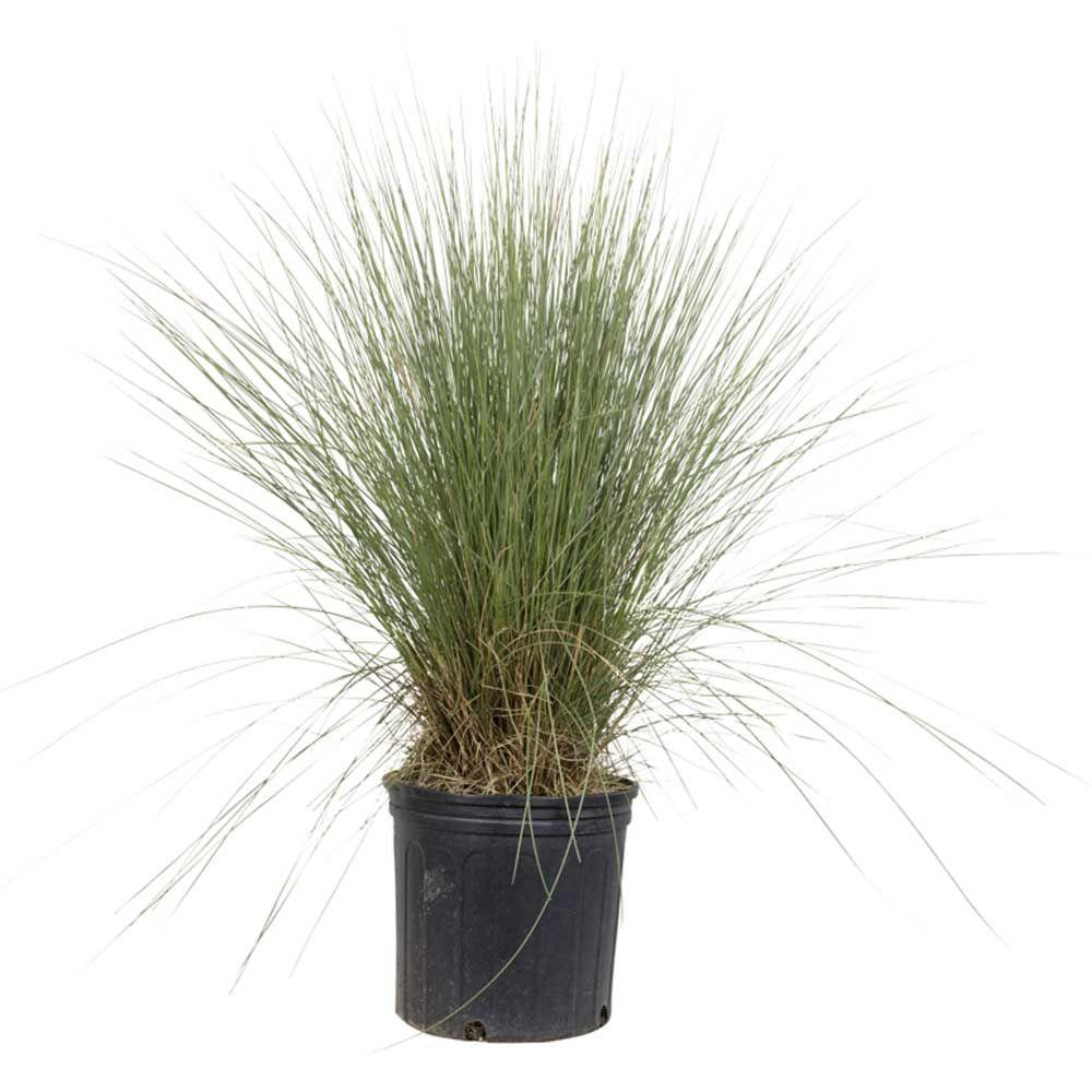 Vigoro 9.25 in. Pot - Pink Muhly Grass, Live Plant