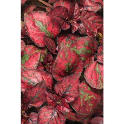 4-Pack, 4.25 in. Grande Hippo Red Polka Dot Plant (Hypoestes) Live Plants, Green and Red Speckled Folage