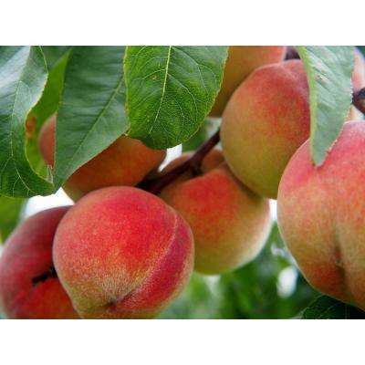 Frost Peach Tree Bare Root