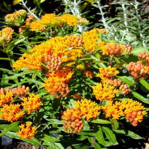 Onlineplantcenter 1 Gal Butterfly Weed Plant A150cl The