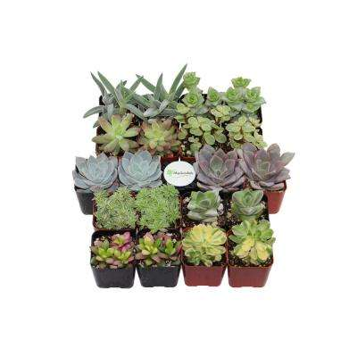 2 in. Premium Pastel Succulent (Collection of 20)