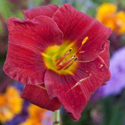 Funny Valentine Daylily (Hemerocallis), Red Flowering Perennial Live Bareroot Plant (1-Pack)