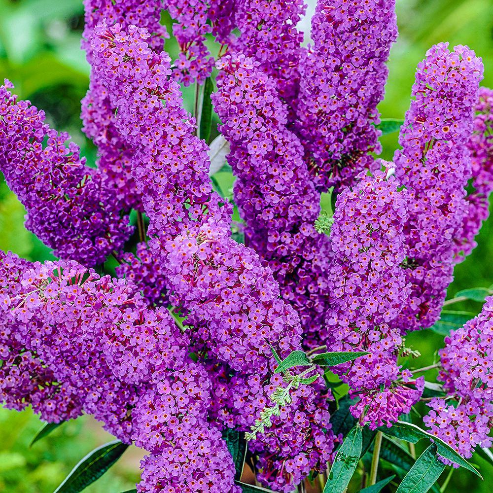 4 in. Pot Blue Butterfly Bush (Buddleia), Live Deciduous Plant, Lavender Blue Flower (1-Pack)