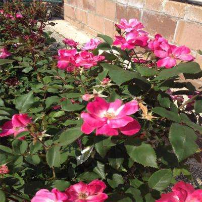 3 Gal. Pink Double Knock Out Rose Shrub