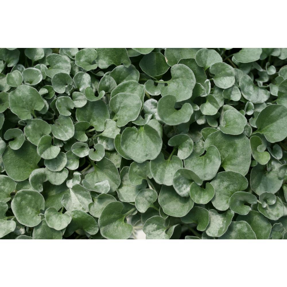 Silver Falls (Dichondra) Live Plant, Silver-White Foliage, 4.25 in. Grande, 4-pack