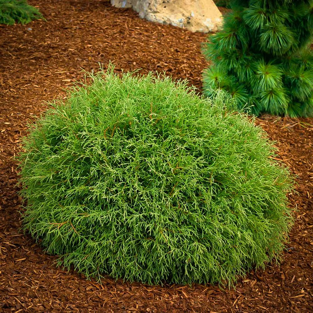 Online Orchards 1 Gal Little Giant Arborvitae Shrub Cfar003 The